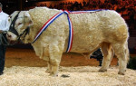 Vaca - Toro charolais Macho (1 año)