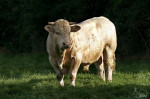 Vaca - Toro charolais Macho