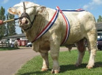 Vaca - Toro charolais Macho (2 años)