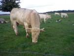 Vaca - Toro charolais Macho (3 años)
