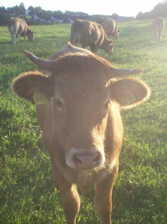 Vaca - Toro charolais