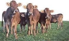 Vaca Vacas - Hembra (8 años)