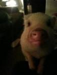 Cerdo - Cerdo (1 año)