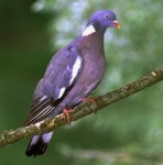 Pájaro - Urraca parlanchina (4 meses)