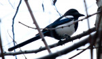 Pájaro - Urraca parlanchina