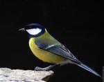 Pájaro - Urraca parlanchina (1 año)