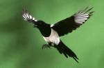 Pájaro - Urraca parlanchina Macho (1 año)