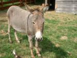Asno - Burro gris (15 años)