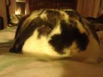 Conejo - Conejo de campo Macho (1 año)