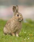 Conejo - Conejo de campo (1 año)
