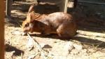 Conejo - Conejo de campo