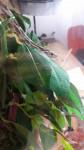 Serpiente - Serpiente del maíz (9 meses)