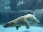 Oso polar - (4 años)