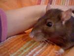 Rata - (3 años)